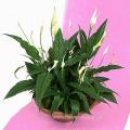 Σπαθίφυλλο σε Πιατέλα - PLANT 43003