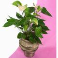 Ανθούριο Φυτό - PLANT 43004