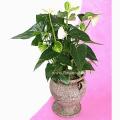 Ανθούριο Φυτό - PLANT 43006