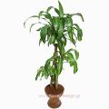 Φυτό Φρανκ Γκρας σε Βάση - PLANT 43013