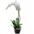 Plant Falenopsis - PLANT 43023