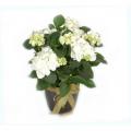 Plant Hydrangea    -  FYT 0002