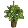 Μαρανθία - PLANT 43025