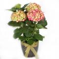 φυτό ορτανσία -- FYT 0001