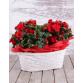 Begonia Plant in holder