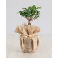 Bonsai Plant