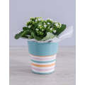 Kalanchoe Plant in holder