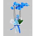 Orchids - Magic Blue