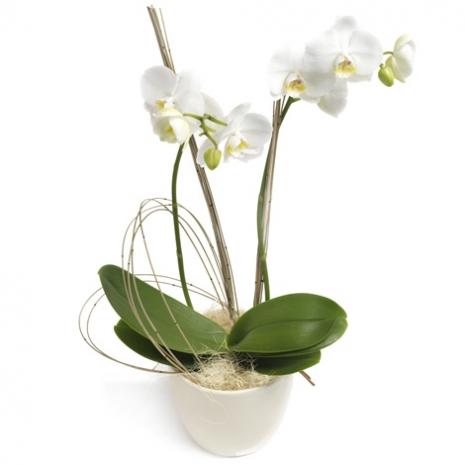 Φυτό Ορχιδέα Φαλενόψις σε Βάση - PLANT 43001