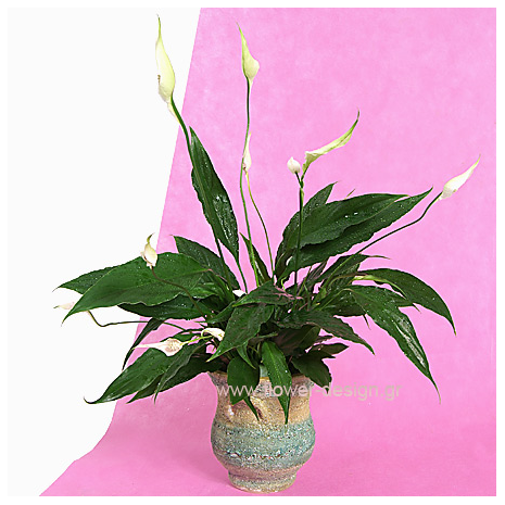 Spathiphyllum in the pottery - PLANT 43002