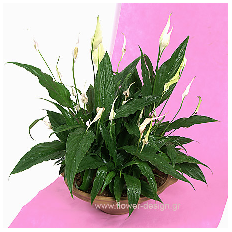 Plant Spathifillum big - PLANT 43003
