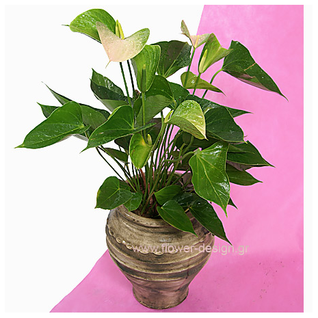 Anthurium in the pottery - PLANT 43004