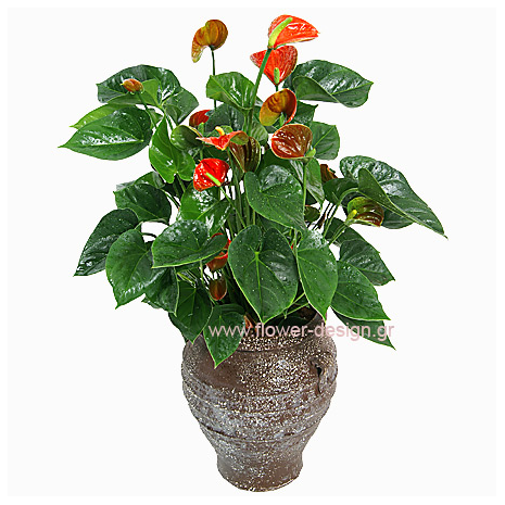 Anthurium in the pottery - PLANT 43007