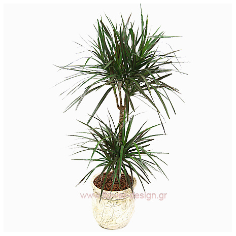 Dracaena in the pottery - PLANT 43012