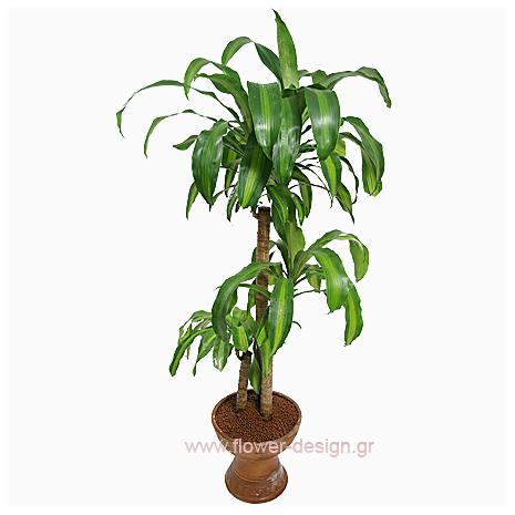 Fran Grass - PLANT 43013