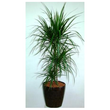 Δράκαινα - PLANT 43026