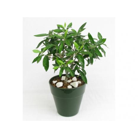 Olive Tree - PLANT 43029