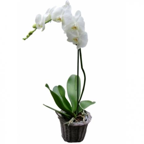 Ορχιδέα Φαλαινόψις - PLANT 43023