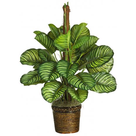 MARANTHIA - PLANT 43025