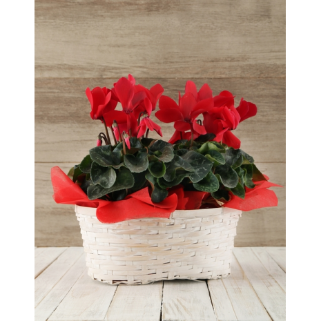 2 Red Cyclamens in Basket
