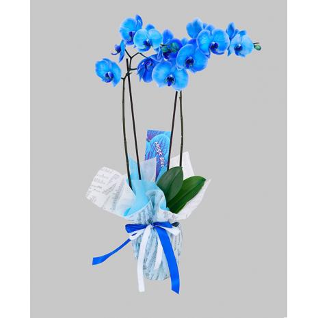 Ορχιδέες βαμμένες - Magic Blue