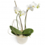 Orchid Falenopsis in the pottery - PLANT 43001