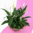 Spathiphyllum - BUSIN 21006