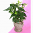 Anthurium in the pottery - PLANT 43006