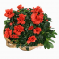 Azalea in the pottery - PLANT 43016