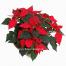 Χριστουγεννιάτικα Αλεξανδριανά - XMAS 44010