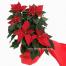 Christmas  plant  Alexandriano - XRI 0301