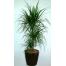 Drakena - PLANT 43026