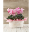 SET 2 Cyclamens in Basket