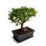 Φυτό Μπονζάϊ - PLANT 072254