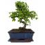 Bonsai  - PLANT 43028